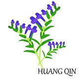 huang qin Chinese herb