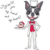 Vector fashion elegant groom dog Boston Terrier