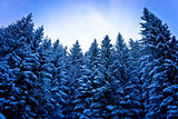 Alps pine forest in snow