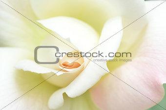 Beautiful white rose flower head