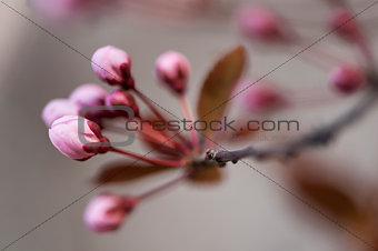 Black cherry plum flower buds