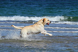 yellow labrador swimming in the sea