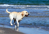 a yellow labrador swimming in the sea