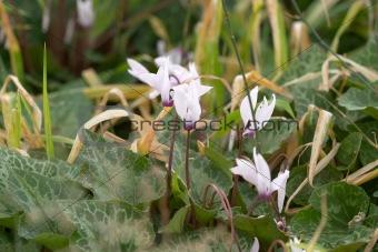 cyclamens blossom