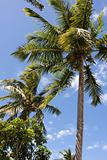 tropical coconut palm trees