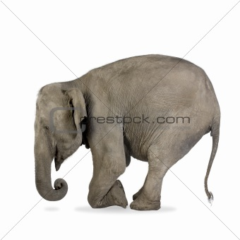 Asian Elephant - Elephas maximus (40 years)