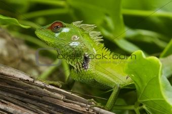 Green garden lizard II