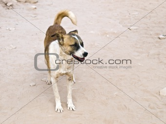 Bedouin dog