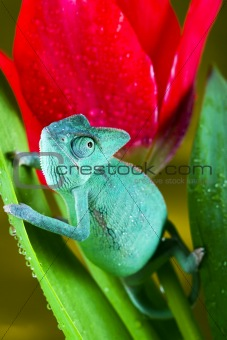 Chameleon on the tulip