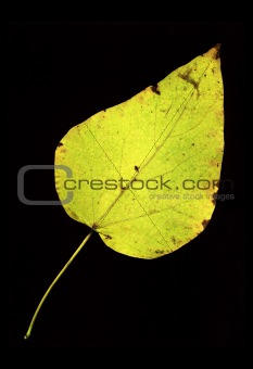 Autumn leaf on black