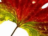 red-green leaf