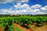Vineyard in french countryside
