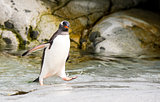 Gentoo Penguin runs over water