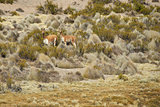 Wildlife of the Altiplano