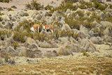 Wildlife of the Altiplano