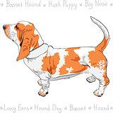 vector dog Basset Hound breed