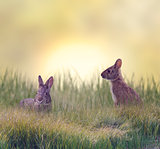 Two Marsh Rabbits
