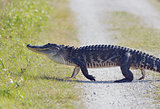 Florida Alligator Walking