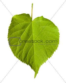 Green tilia leaf