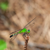 Summit dragonfly