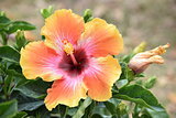 Multu- Colored Hibiscus Flower Bloom