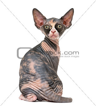Back view of a Sphynx kitten isolated on white