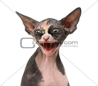 Close up of a Sphynx kitten threatening, isolated on white