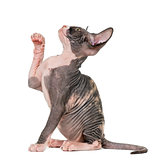 Sphynx kitten pawing up, isolated on white