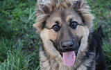 german shepherd. photo