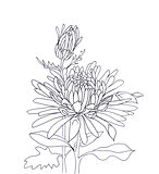 Flower hand drawn aster
