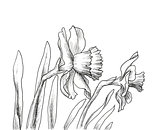 Narcissus flowers hand drawn style