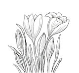 Hand drawn crocus flowers.