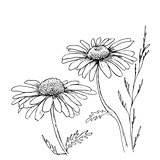 Camomile hand drawn flowers