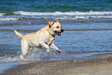the cute yellow labrador swimming in the sea