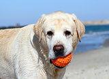 the cute yellow labrador with orange ball