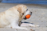 a cute yellow labrador with orange ball