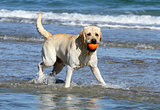cute yellow labrador with orange ball