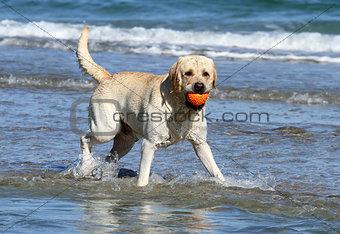 cute yellow labrador with orange ball