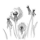 Hand drawn dandelion