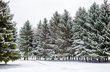 Fir trees and snow