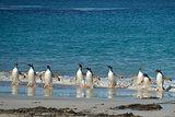 Gentoo Penguins Coming Ashore