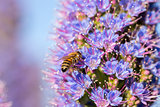 Bee (Anthophila) on Pride of Madeira (Echium Candicans) flower