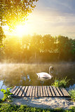 Swan in the morning