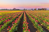 Tulip Field in Bloom at Sunrise