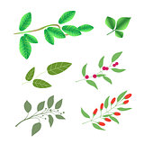 Set of  green brunches with leaves and berries, vector colorful illustration isolated