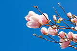 Spring Magnolia Flowers and Blue Sky