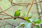 Greater green leafbird
