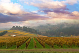 Vineyard in Dundee Oregon