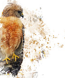 Red Shouldered Hawk Watercolor