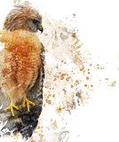 Red Shouldered Hawk Watercolor